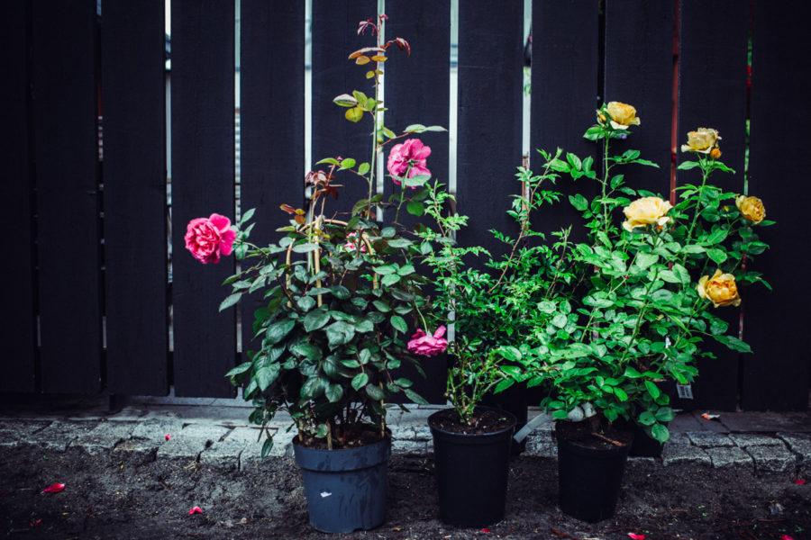 rose__Lagerqvist-1514