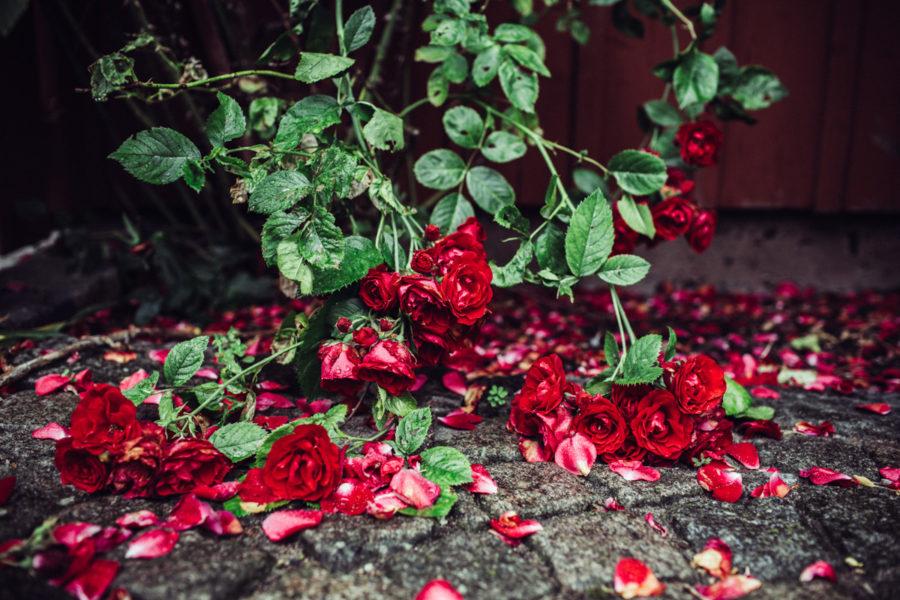 rose__Lagerqvist-1517