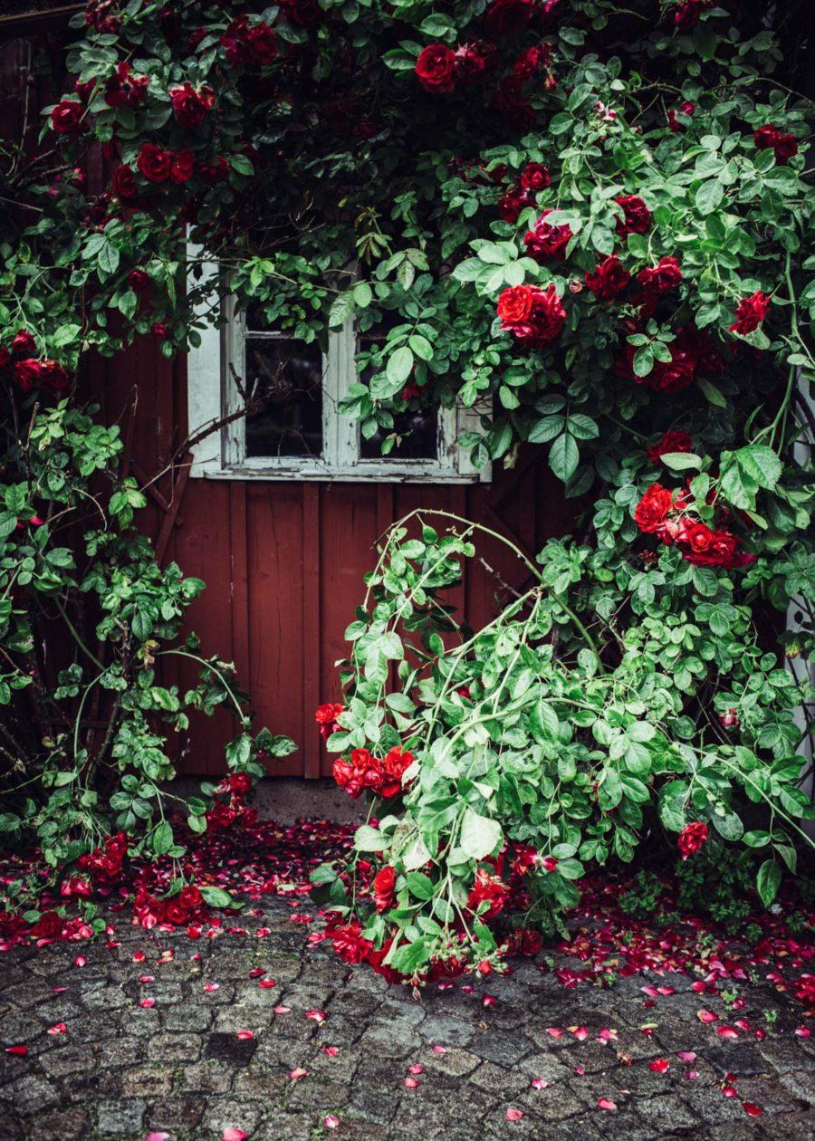rose__Lagerqvist-1518
