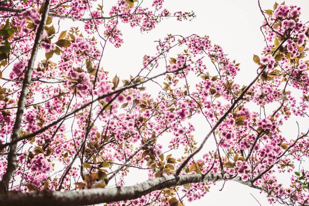 körsbär dating blomma